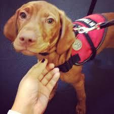 Do Wirehaired Vizslas Shed by Vizsla Service Dog Service Dogs Pinterest Service Dogs Dog