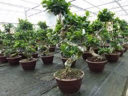 ficus ginseng bonsai 80 100 cm feng shui zimmerpflanze in bonsaischale