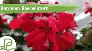geranien überwintern schneiden und pflege plantura