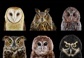 Who's Who | Audubon White Screech Owl Illustration Lachina Bbc Two Autumnwatch Sleepy Barn Owl Yoga Bird Feeder Feast And Barn Wikipedia Attractions In Cornwall Sanctuary Wishart Studios Red Eastern By Ryangallagherart On Deviantart Owlingcom Biology Birding Buddies 2000 Best 2 Especially Images Pinterest Screeching Youtube