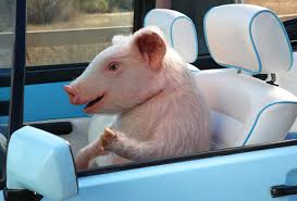 Geico 2013 Campaign, Maxwell The Piggy, Pulled Over Driving A ...