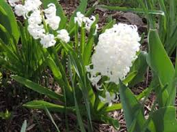 how to grow hyacinth flowering bulbs growing hyacinth plants