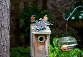Why Baiting Owls Is Not The Same As Feeding Backyard Birds | Audubon Some Ways To Keep Our Backyard Birds Healthy Birds In The These Upcycled Diy Bird Feeders Are Perfect Addition Your Two American Goldfinches Perch On A Bird Feeder Eating Top 10 Backyard Feeding Mistakes Feeder Young Blue Jay First Time Youtube With Stock Photo Image 15090788 Birdfeeding 101 Lover 6 Tips For Heritage Farm Gardenlong Food Haing From A Tree Gallery13 At Chickadee Gardens Visitors North Andover Ma
