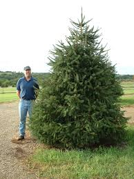 Types Of Christmas Trees In Oregon by Christmas Tree Nursery Mount Horeb Wisconsin Timberland Trees