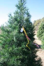 Leyland Cypress Christmas Tree by 42 Best Specialty Crops U0026 Products Oklahoma Agritourism Images