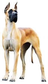 Which Dogs Do Not Shed Or Smell by What Breed Of Dogs Do Not Shed Hair Breed Dogs Spinningpetsyarn