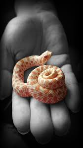 Corn Snake Shedding Too Often by 27 Best Boople Snakes Images On Pinterest Snakes Reptiles And