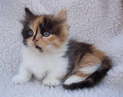 munchkins cats munchkin cat history characteristics and temperament