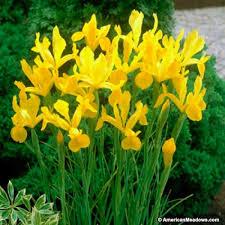 iris bulbs yellow american