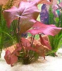 planted aquariums central plant nymphaea stellata