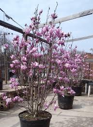 The 25 best Jane magnolia ideas on Pinterest