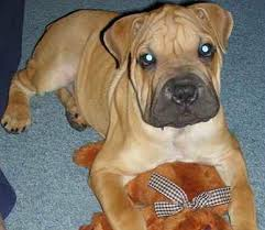Do Shar Pei Lab Mix Shed by Boxpei Mix Of Boxer And The Chinese Shar Pei