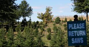 Fresh Christmas Trees Types by Cut Down Your Own Christmas Tree Near Chicago