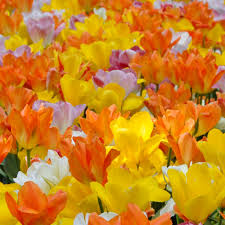 tulip bulbs colorblends皰 wholesale flower bulbs from