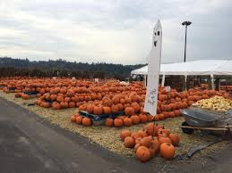 Puyallup Pumpkin Patch by Sterino Farms Puyallup All Carving Pumpkins 1