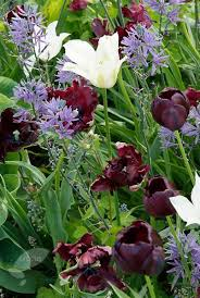 buy parrot tulip bulbs tulipa black parrot delivery by crocus