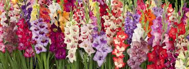 gladiolus how to plant and grow your gladiolus bulbs