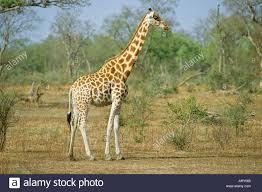West African Giraffe Giraffa Camelopardalis Peralta Waza National Park Cameroon