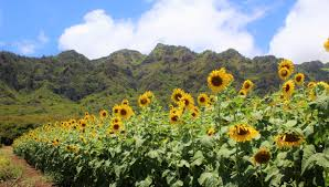 Waimanalo Pumpkin Patch And Corn Maze by The Magical Sunflower Field Hiding In Hawaii You Must Visit Asap