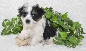 Morkies Do They Shed by Morkie Dog Information The Yorkshire Terrier U0026 Maltese Mix