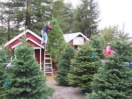 Leyland Cypress Christmas Tree Growers by Marin And Sonoma Counties California Christmas Tree Farms Choose