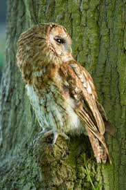 267 Best Tawny Owl Images On Pinterest | Tawny Owl, Birds And ... Barn Owl Perching On A Tree Stump Facing Forward Stock Photo The Owls Of Australia Australian Geographic Audubon Field Guide Beautiful Perched 275234486 Barred Owl Vs Barn Hollybeth Organics Luxury Skin Care Why You Want Buddies Coast News Group Sleeping By Day Picture And Sitting Venezuela 77669470 Shutterstock Rescue Building Awareness Providing Escapes And Photography Owls Owlets At Charlecote Park Barnaby The Ohio Wildlife Center