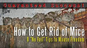 How To Get Rid Of Rats In The Attic Naturally - The Best Rat Of 2017 Mice How To Identity And Get Rid Of In The Garden Home Rats Guaranteed 4 Easy Steps Youtube Does Peppermint Oil Repel Yes Best 25 Getting Rid Rats Ideas On Pinterest 8 Questions Answers About Deer Hantavirus Mouse Control To Of In The Keep Away From Bird Feeders Walls 2 Quick Ways That Work Get Rid Of Rats Using This 3 Home Methods Naturally Dangers Rat Poison Dr Axe Out Your Without Killing Them