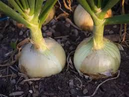 what are bulb in plants what are some exles quora