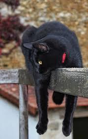 bombay cats 22 best bombay cats images on bombay cat black cats