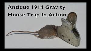 Antique 1914 Gravity Metal Mouse Trap In Action. Mouse Trap Monday ... Farmer Saves Rat From Death In Her Own Barn Redwood Coast Aazk Rat Poison Alternatives Mouse Poop Droppings Victor The Chicken Chick 15 Tips To Control Rodents Around Coops Black Rattus Rattus Foraging Of Farm Stock Photo Barn Owl About Enter Its Nest Carrying A Dead For Young Nose Work Hunt 44094 Kangaroo Rats San Diego Zoo Institute Cservation Research Mice And New York The Barn Rat Blog Remains Found Within The Wall During
