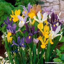iris bulbs mix iris hollandica american