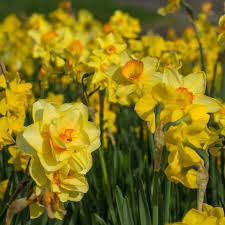 wholesale flowerbulbs colorblends皰 wholesale flower bulbs from
