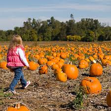 Pumpkin Picking Richmond by U Pick Pumpkins In Our Pick Your Own Pumpkin Patch At Gull Meadows