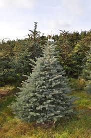 10ft Christmas Tree Uk by Freshly Cut Blue Spruce Buy Online Free Delivery Send Me A