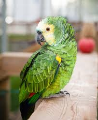 Parrot Caught Singing Bodies Hit The Floor by My Safe Bird Store Blog Continuing Parrot Education U2013 Our Mission