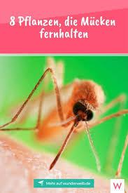 8 pflanzen die mücken fernhalten mücken fernhalten