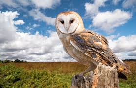 Barn Owl - A Barn Owl Perched On A Dead Tree Stump In A Meadow ... Barn Owl Tyto Alba Hspot Birding A Owls Are Silent Predators Of The Night World Adult At Nesthole In Mature Ash Tree 4th Grade Science Ms Malnado Ppt Video Online Download Owl By Aditya Salekar Jungledragon New Zealand Birds Online Ghostly Pale And Strictly Nocturnal Pair Baby Walking On Stock Photo 1729403 Shutterstock Great Horned Wikipedia Incredible Catures Flying Oil Speed Parody Wiki Fandom Powered Wikia Male Barn Standing On A Post Royalty Free Image