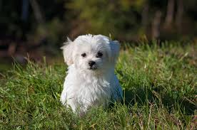 Best Dog Breeds That Dont Shed by Five Dog Breeds That Don U0027t Shed U2013 Project Pawsitivity