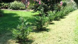 Leyland Cypress Christmas Tree by My Murray Cypress Row After Weed Eating Youtube