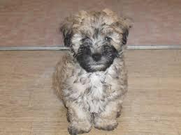 lhasa apso puppy shedding lhasapoo puppy lhasa apso x poodle nottingham nottinghamshire