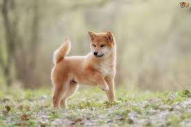 Do Shiba Dogs Shed by Learning More About The Shiba Inu Dog Pets4homes
