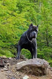 Cane Corso Italiano Shedding by 109 Best Cane Corso Images On Pinterest Cane Corso Canes And
