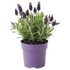 lavandula pflanze lavendel 12 cm