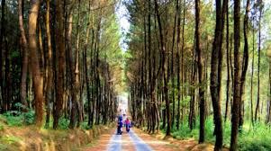 Hutan Pinus Mangunan Yogyakarta Spot Selfie Paling Top