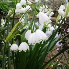 flowered grown snowdrop bulbs gf snowdrops