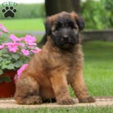 Do Wheaten Terriers Shed by Soft Coated Wheaten Terrier Puppies For Sale In De Md Ny Nj Philly