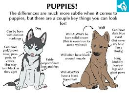 Differences Between A Wolf and A Dog Emotional Pet Support