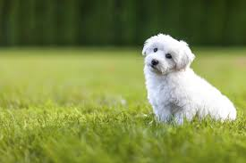 Non Shedding Hypoallergenic Small Dogs by A List Of Small Dogs That Don U0027t Shed Unbelievable But True