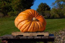 Homemade Fertilizer For Pumpkins by Can Pumpkins Explode Home Guides Sf Gate