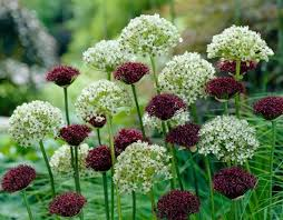 when all is dead and alliums are your fallback pal home